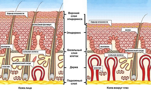Схематическое изображение строения кожи