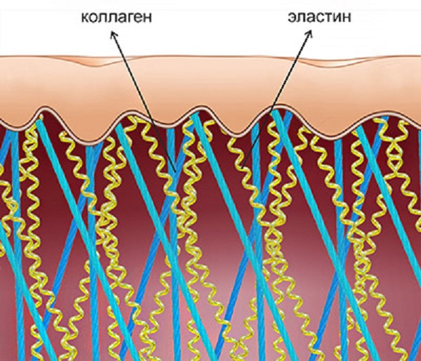Размещение волокон коллагена и эластина в коже человека