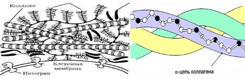 Коллаген: аминокислотные остатки глицина окрашены в черный цвет, а  других аминокислот – в белый