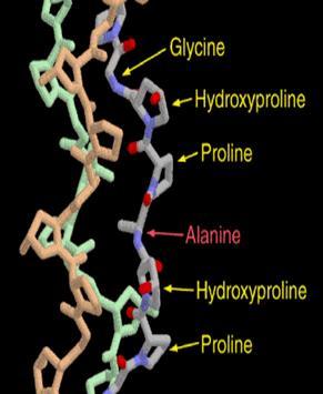 Аминокислоты коллагена
